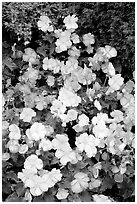 Pink and white begonias. Butchart Gardens, Victoria, British Columbia, Canada ( black and white)