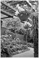Hanging baskets with begonias and fuchsias. Butchart Gardens, Victoria, British Columbia, Canada ( black and white)