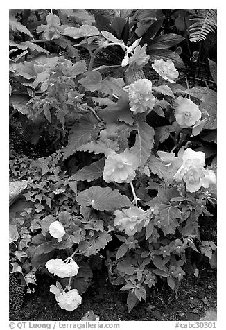 Multicolored begonias. Butchart Gardens, Victoria, British Columbia, Canada (black and white)