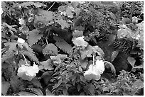 Multicolored begonias. Butchart Gardens, Victoria, British Columbia, Canada ( black and white)