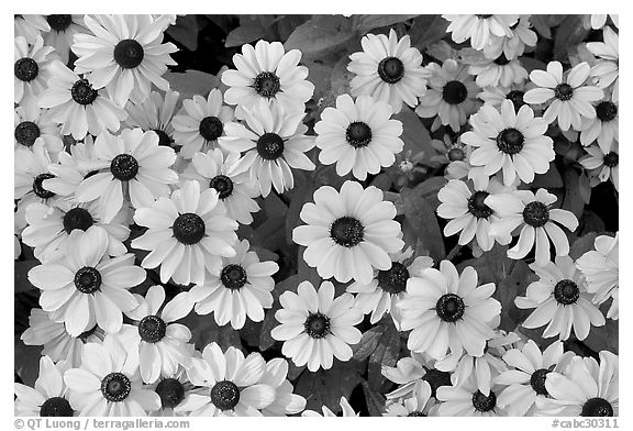 Yellow Daisies. Butchart Gardens, Victoria, British Columbia, Canada (black and white)