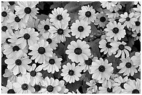 Yellow Daisies. Butchart Gardens, Victoria, British Columbia, Canada ( black and white)
