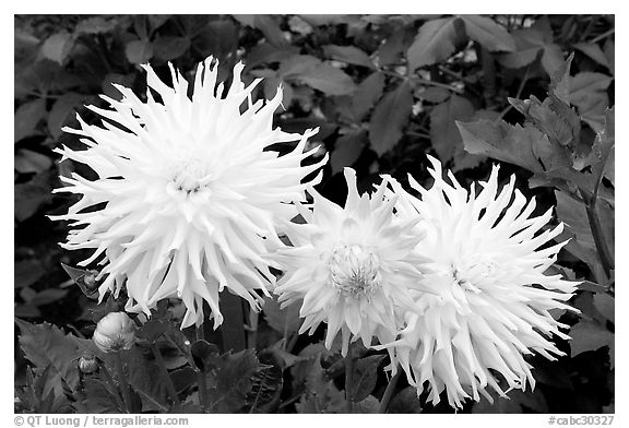 Yellow and pink Dahlias. Butchart Gardens, Victoria, British Columbia, Canada (black and white)