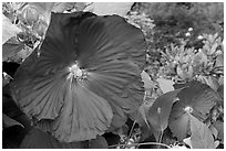 Hibiscus. Butchart Gardens, Victoria, British Columbia, Canada ( black and white)