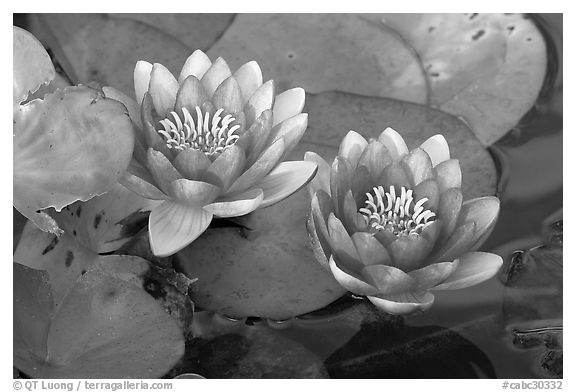 Water lily flower. Butchart Gardens, Victoria, British Columbia, Canada (black and white)
