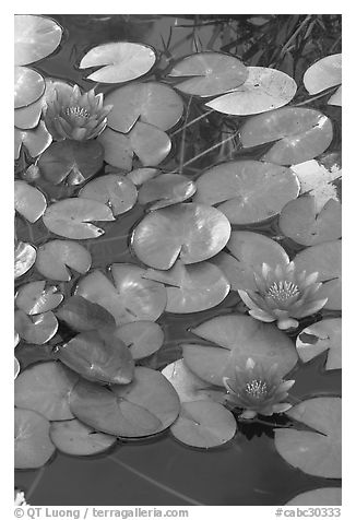 Water lilies. Butchart Gardens, Victoria, British Columbia, Canada (black and white)
