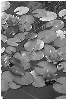 Water lilies. Butchart Gardens, Victoria, British Columbia, Canada ( black and white)