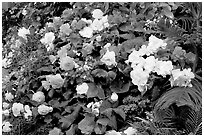Flower arrangement in the Show Greenhouse. Butchart Gardens, Victoria, British Columbia, Canada (black and white)