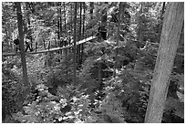 Treetop trail. Vancouver, British Columbia, Canada ( black and white)
