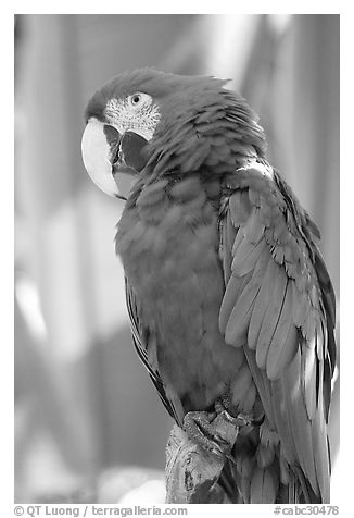 Colorful Parrot, Bloedel conservatory, Queen Elizabeth Park. Vancouver, British Columbia, Canada (black and white)