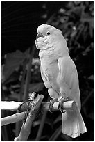 White Parrot, Bloedel conservatory, Queen Elizabeth Park. Vancouver, British Columbia, Canada (black and white)