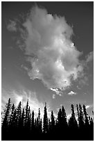 Trees and cloud, sunset. Yoho National Park, Canadian Rockies, British Columbia, Canada ( black and white)