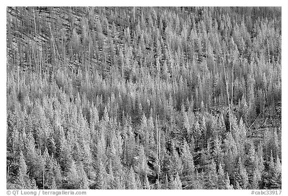 Partly burned forest on hillside. Kootenay National Park, Canadian Rockies, British Columbia, Canada (black and white)