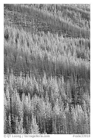 Partly burned trees on hillside. Kootenay National Park, Canadian Rockies, British Columbia, Canada (black and white)