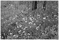 Wildflower carpet on forest floor in Tokkum Creek. Kootenay National Park, Canadian Rockies, British Columbia, Canada (black and white)