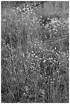 Flower carpet near Marble Canyon. Kootenay National Park, Canadian Rockies, British Columbia, Canada (black and white)