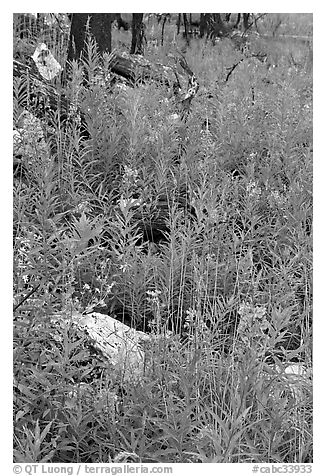 Fireweed and fire-charred trunks, Tokkum Creek. Kootenay National Park, Canadian Rockies, British Columbia, Canada (black and white)