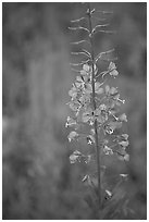 Fireweed close-up. Kootenay National Park, Canadian Rockies, British Columbia, Canada (black and white)