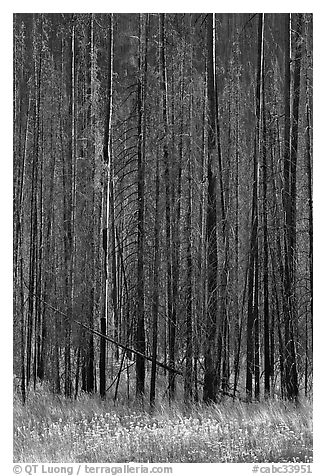 Burned trees and wildflowers. Kootenay National Park, Canadian Rockies, British Columbia, Canada (black and white)