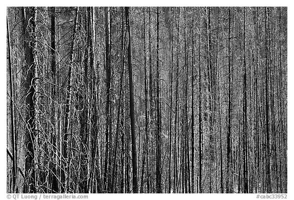 Burned tree trunks. Kootenay National Park, Canadian Rockies, British Columbia, Canada (black and white)