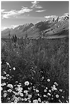 Daisies, fireweed, and Kootenay Valley, late afternoon. Kootenay National Park, Canadian Rockies, British Columbia, Canada ( black and white)