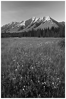 Yellow wildflowers in meadow below Mitchell Range, sunset. Kootenay National Park, Canadian Rockies, British Columbia, Canada (black and white)
