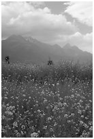Fields with yellow mustard, below the Jade Dragon mountains. Baisha, Yunnan, China ( black and white)