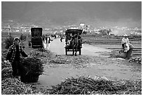 Grain being layed out on a country road (threshing). Dali, Yunnan, China (black and white)