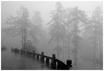 Trees outside Xiangfeng temple in mist. Emei Shan, Sichuan, China (black and white)
