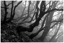 Twisted trees on hillside. Emei Shan, Sichuan, China (black and white)
