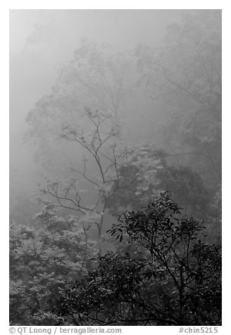 Trees in fog between Qingyin and Hongchunping. Emei Shan, Sichuan, China