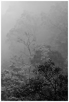 Trees in fog between Qingyin and Hongchunping. Emei Shan, Sichuan, China (black and white)