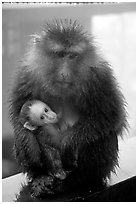 Monkey and baby monkey. Emei Shan, Sichuan, China (black and white)