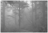 Trees in the mist between Xixiangchi temple and Leidongping. Emei Shan, Sichuan, China ( black and white)