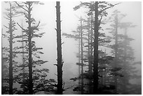Trees in mist. Emei Shan, Sichuan, China (black and white)