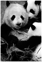 Panda mom and cubs eating bamboo leaves, Giant Panda Breeding Research Base. Chengdu, Sichuan, China (black and white)