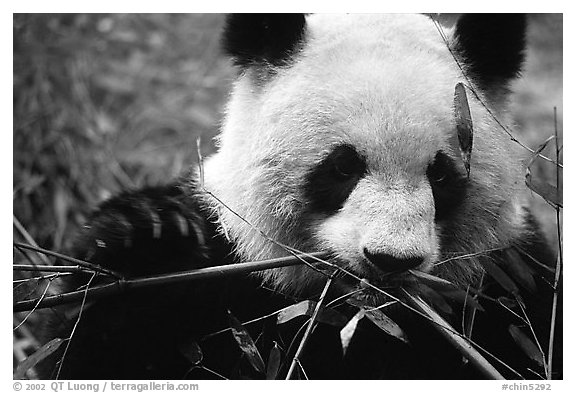 Black and white picture photo panda eating bamboo leaves giant panda breeding research base chengdu sichuan china