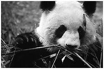 Panda eating bamboo leaves, Giant Panda Breeding Research Base. Chengdu, Sichuan, China (black and white)
