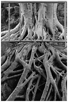 Roots and fence, Guandu Temple. Taipei, Taiwan ( black and white)