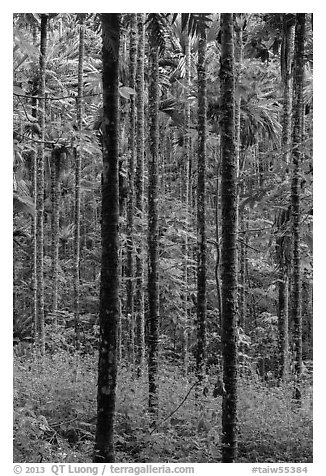 Trees in forest. Sun Moon Lake, Taiwan (black and white)