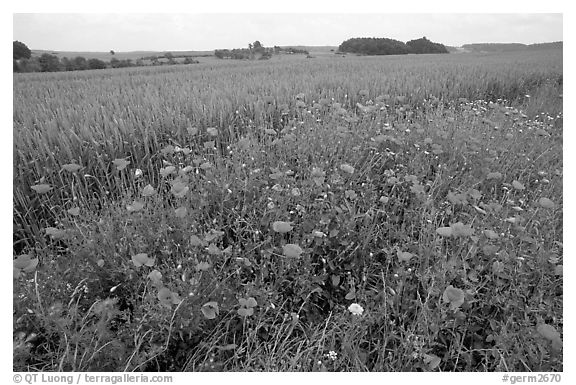Field of red poppies. Bavaria, Germany (black and white)