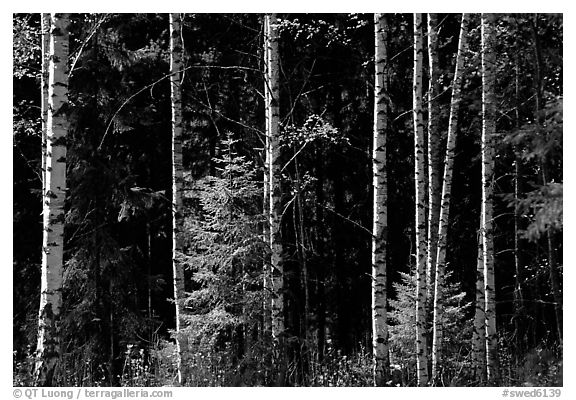 Aspen trees. Central Sweden (black and white)