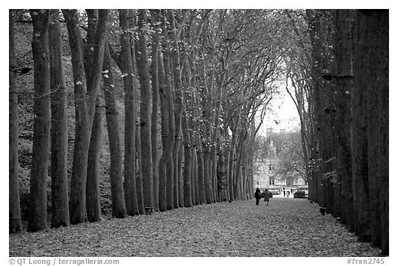 Sycamores, alley leading to Chenonceaux chateau. Loire Valley, France
