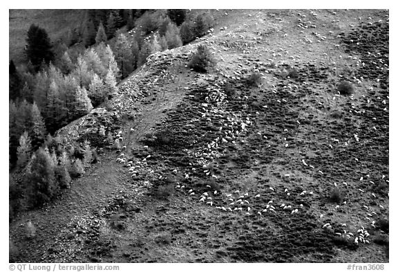 Herd of sheep on mountainside. Maritime Alps, France (black and white)