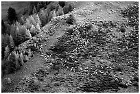 Herd of sheep on mountainside. Maritime Alps, France ( black and white)
