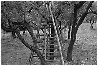 Ladders in olive tree orchard, Les Baux-de-Provence. Provence, France ( black and white)