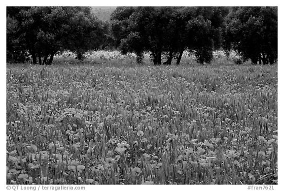 Red poppies and olive trees. Marseille, France (black and white)