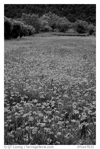 Red poppies and farm in the distance. Marseille, France (black and white)