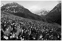 Wildflowers and Oisans range near Villar d'Arene, late afternoon. France ( black and white)