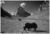 Yaks and Gumburanjan monolith, Zanskar, Jammu and Kashmir. India (black and white)